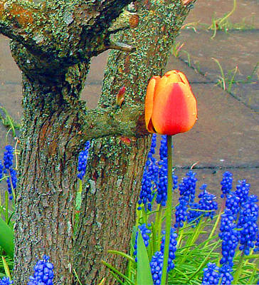 The Beach House - Orange Tulip and Bluebells by Richard James Digance