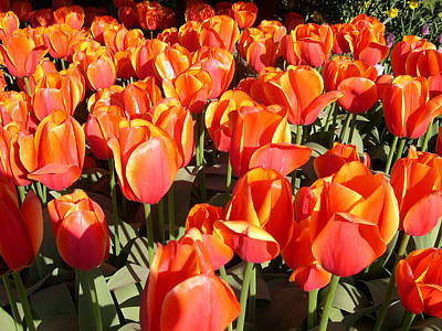 Digital Art - Orange Tulips by Claude McCoy