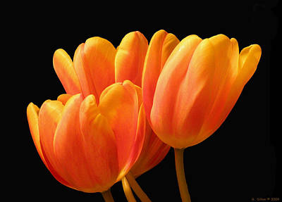 Orange Tulips On Black Art Print