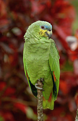 Orange-winged Parrot Amazona Amazonica Art Print by Pete Oxford