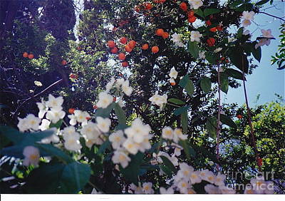 Photograph - Oranges And Blossoms by Barbara Plattenburg