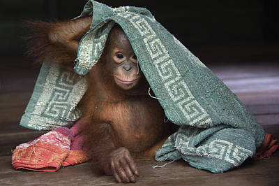 Photograph - Orangutan 2yr Old Infant Playing by Suzi Eszterhas