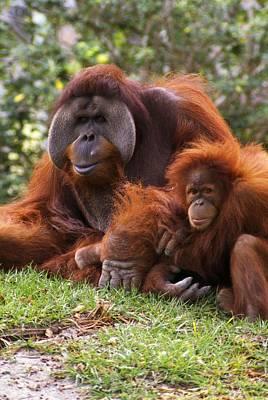 Orangutan Mother And Baby Art Print by Natural Selection Ralph Curtin