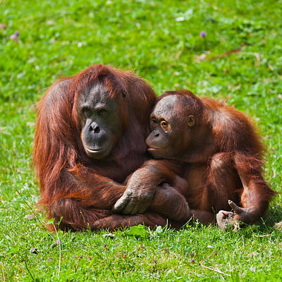 Feeding Young Photograph - Orangutan Mother And Child by Gabriela Insuratelu