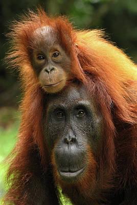 Photograph - Orangutan Pongo Pygmaeus Female by Thomas Marent