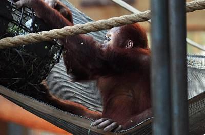 Photograph - Orangutan by Puzzles Shum