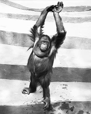 Orangutan W/arms Up Art Print by George Marks