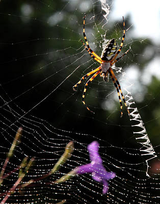 Photograph - Orb Weaver Spider by Joseph G Holland
