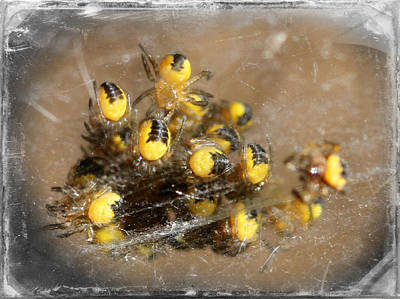 Photograph - Orb Weaver Spiderlings by Mark J Seefeldt
