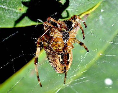 Photograph - Orb Weaver Waits by Chriss Pagani
