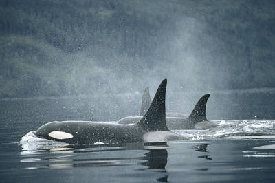 Photograph - Orca Orcinus Orca Group Surfacing by Flip Nicklin