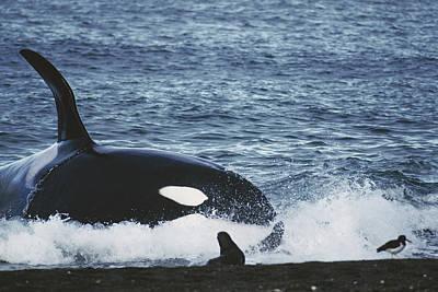 Valdes Photograph - Orca Orcinus Orca Hunting South by Hiroya Minakuchi