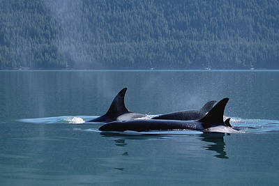 Orca Orcinus Orca Pod Surfacing, Inside Art Print by Konrad Wothe