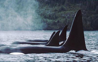 Dorsal Fin Photograph - Orcas At Rest  Johnstone Strait British by Flip Nicklin