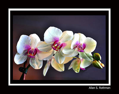 Photograph - Orchid 4 by Allan Rothman