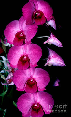 Photograph - Orchid 8 by Terry Elniski