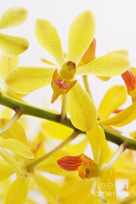 Orchid Original by Atiketta Sangasaeng