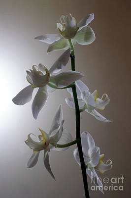 Photograph - Orchid Bloom by Balanced Art