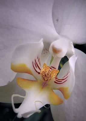Photograph - Orchid Close Up Two by Nancy Griswold