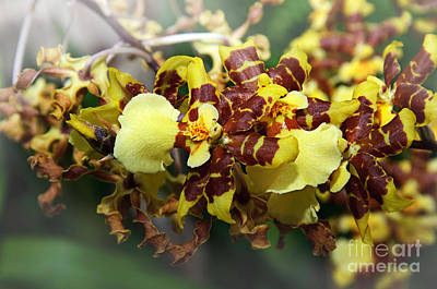 Photograph - Orchid Cluster by Andee Design