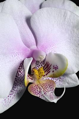 Orchid Art Print by David Chapman