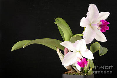 Orchid In Bloom Print by Ted Kinsman