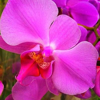 Orchids Photograph - #orchid #iphoneography #iphonesia by Sherri Galvan