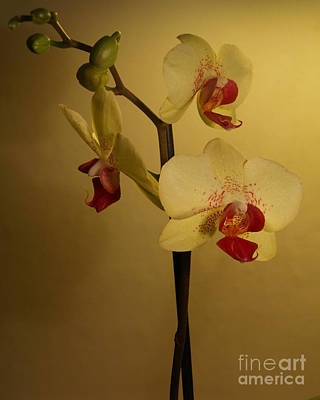 Photograph - Orchid by Michael Canning