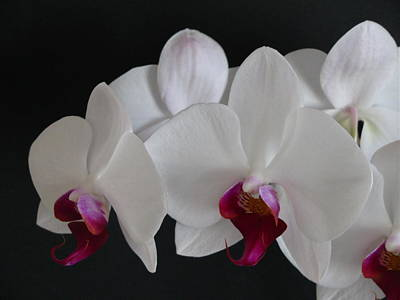 Photograph - Orchid by Rhonda Jones