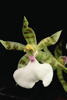 Photograph - Orchid, Sipapo Tepui, Venezuela by Mark Moffett