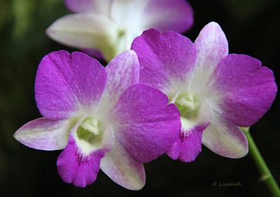 Dendrobium Photograph - Orchids - Best Friends by Kerri Ligatich