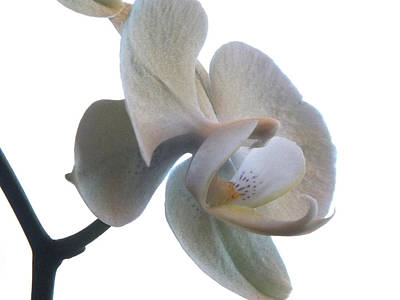 White Orchid Photograph - Orchids 1 by Mike McGlothlen