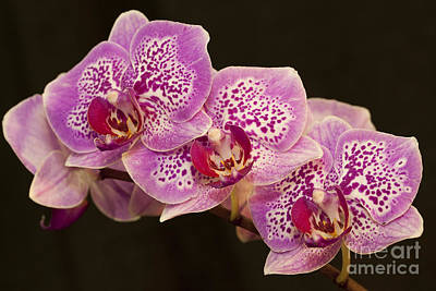 Art Print featuring the photograph Orchids by Eunice Gibb