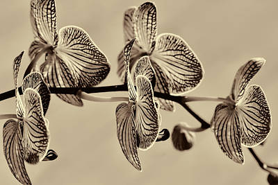 Orchids In Raw Umber Art Print by Kathy Clark