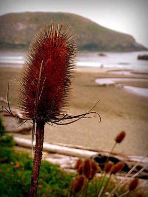 Photograph - Oregon Coast Teasel by Cindy Wright
