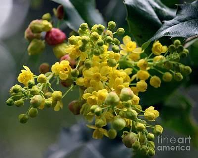 Photograph - Oregon Grape Mahonia Aquifolium by Erica Hanel