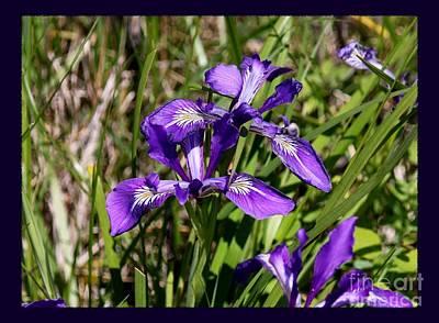 Photograph - Oregon Wild Iris by Erica Hanel