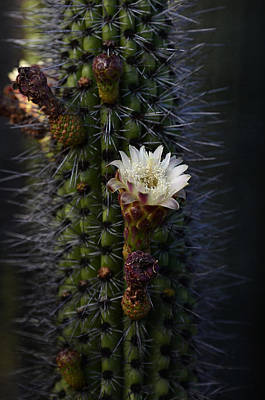 Organ Pipe Cactus  Art Print by Saija  Lehtonen