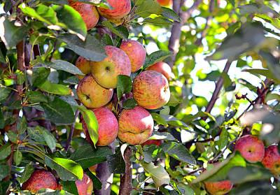 Organic Apples In A Tree Art Print by Susan Leggett