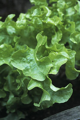 Lettuce Photograph - Organic Lettuce (lactuca 'salad Bowl') by Maxine Adcock