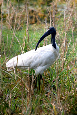 Art Print featuring the photograph Oriental White Ibis by Pravine Chester
