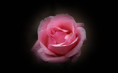 Photograph - Original Rose Petals by Anthony Rego