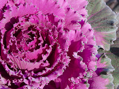 Art Print featuring the photograph Ornamental Kale by MaryJane Armstrong