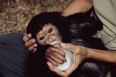 Orphaned Chimpanzee Art Print by Tony Camacho