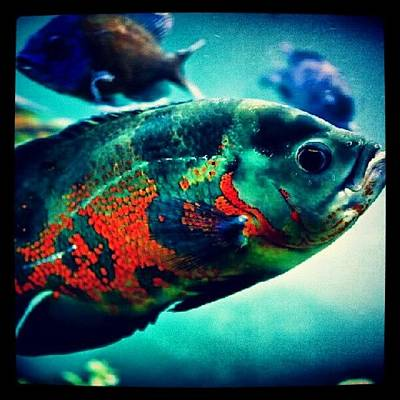Oscars Wall Art - Photograph - #oscar #fish #aquarium #instafish by Kaktus Kaluchkin