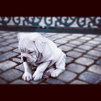 Skin Photograph - #oscar #puppy #dog #white #black by Peter Rotolo