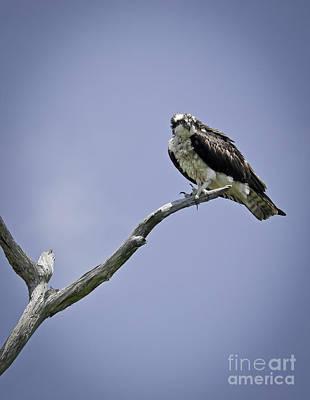 Photograph - Osprey   by David Waldrop