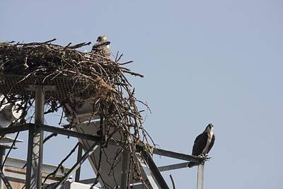 Photograph - Osprey - Immature - 0001 by S and S Photo
