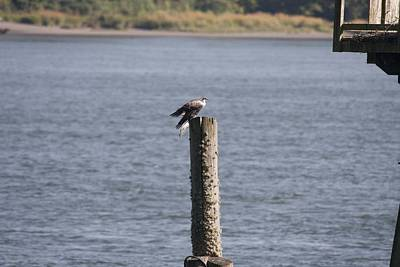 Photograph - Osprey - Immature - 0002 by S and S Photo