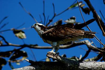 Photograph - Osprey 2 by David Weeks